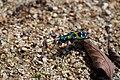 Japanese tiger beetle (Cicindela chinensis ssp. japonica) (20712070849).jpg