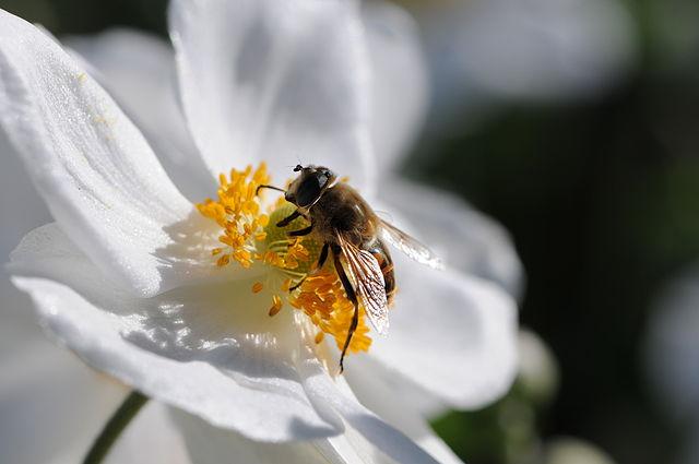 file japanische herbst anemone anemone hupehensis var japonica 5 jpg wikimedia commons. Black Bedroom Furniture Sets. Home Design Ideas
