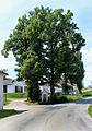 Jindřichův Hradec, Rudolfov, lime tree.jpg