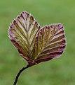 Jong blad van rode beuk Fagus sylvatica 'Purpurea'. Locatie, De Famberhorst 02.jpg