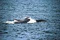 Jour 6 En guise d'aurevoir, la plus grosse baleine nous rend visite.jpg