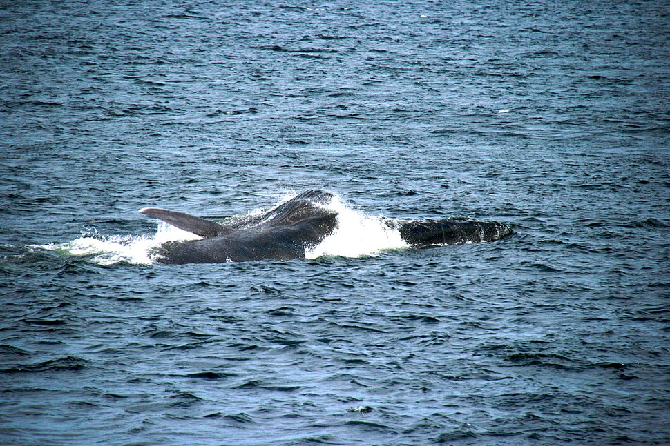 Jour 6 En guise d'aurevoir, la plus grosse baleine nous rend visite