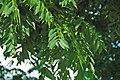 Juglans nigra (black walnut) 7 (49082743008).jpg
