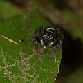 Jumping spider from Ecuador (15869036670).jpg