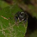 Jumping spider from Ecuador (15869036670).jpg