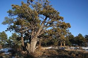 Juniperus deppeana StrawberryAZ.jpg