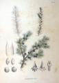 Juniperus rigida SZ125.png
