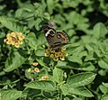 Junonia coenia Common Buckeye 1 NBG LR.jpg