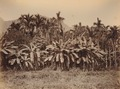 KITLV 92141 - Unknown - Pinang palms at Kullar in India - Around 1870.tif