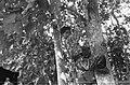 KNIL-militair in camouflageuniform klimt in een boom, Bestanddeelnr 7326.jpg