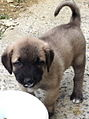 Kangal dog puppy eating yoghurt.jpg