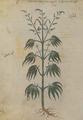 Kannabis hêmeros 167v Dioscoride Vienne.png