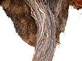 Kapkobra Webervogelnest Auob Lodge Namibia.jpg