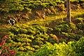 Kebun teh pengalengan.jpg