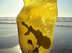 http://upload.wikimedia.org/wikipedia/commons/thumb/7/7d/Kelp_in_Neskowin.jpg/250px-Kelp_in_Neskowin.jpg