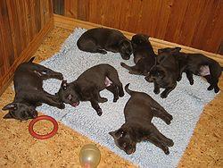 Filhotes de Kelpie dormindo