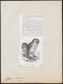 Ketupa peli - 1872 - Print - Iconographia Zoologica - Special Collections University of Amsterdam - UBA01 IZ18400119.tif