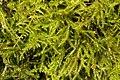 Kindbergia praelonga 104211466.jpg