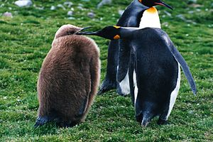 King penguin and a chick.JPG