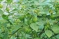 Kluse - Physalis philadelphica - Tomatillo 04 ies.jpg