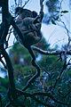 Koala (Phascolarctos cinereus) (9994479843).jpg