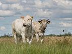 Koeien in de Alde Feanen 3.jpg