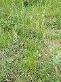 Koeleria macrantha sl5.jpg