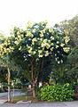 Koelreuteria Formosana UH-Manoa-Honolulu.jpg
