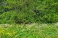 Kolomenskoye AlnusGlutinosa 04595.jpg