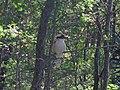 Kookaburra - Flickr - GregTheBusker.jpg