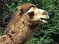 Kopf kauendes Dromedar Zoo Landau Juni 2011.JPG