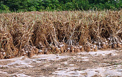 Korea-Goheunggun-Garlic harvest 4196-06.JPG