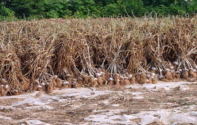 Korea-Goheunggun-Garlic harvest 4196-06.JPG
