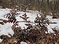 Korina 2013-03-05 Mahonia aquifolium 2.jpg