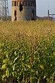 Korina 2014-10-29 Nicotiana tabacum.jpg