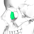 Lacrimal bone - lateral view5.png