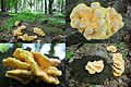 Laetiporus sulphureus (Chicken of the Woods or Sulphur shelf, D= Schwefelporling, F= Polypore soufré, NL= Zwavelzwam) white spores and causes brown rot, already in May near Burgers Zoo Arnhem - panoramio.jpg