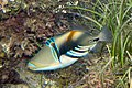 Lagoon triggerfish Rhinecanthus aculeatus (Picasso triggerfish) (5846787791).jpg