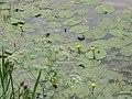 Lahnufer mit gelber Teichrose im Wasser der Lahn oberhalb Grüner Wehr Marburg 2018-06-08.jpg