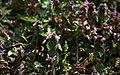 Lainzer Tiergarten März 2014 Purpurrote Taubnesseln (Lamium purpureum) Schwebfliege (Syrphidae) b.jpg