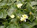 Lake Panna, flowers, 2020 Jászapáti.jpg