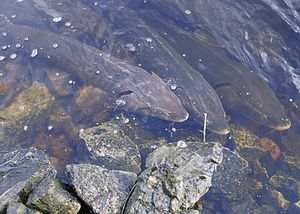 Lake sturgeon - Image: Lakesturgeon public U.S.Fish&Wildlife
