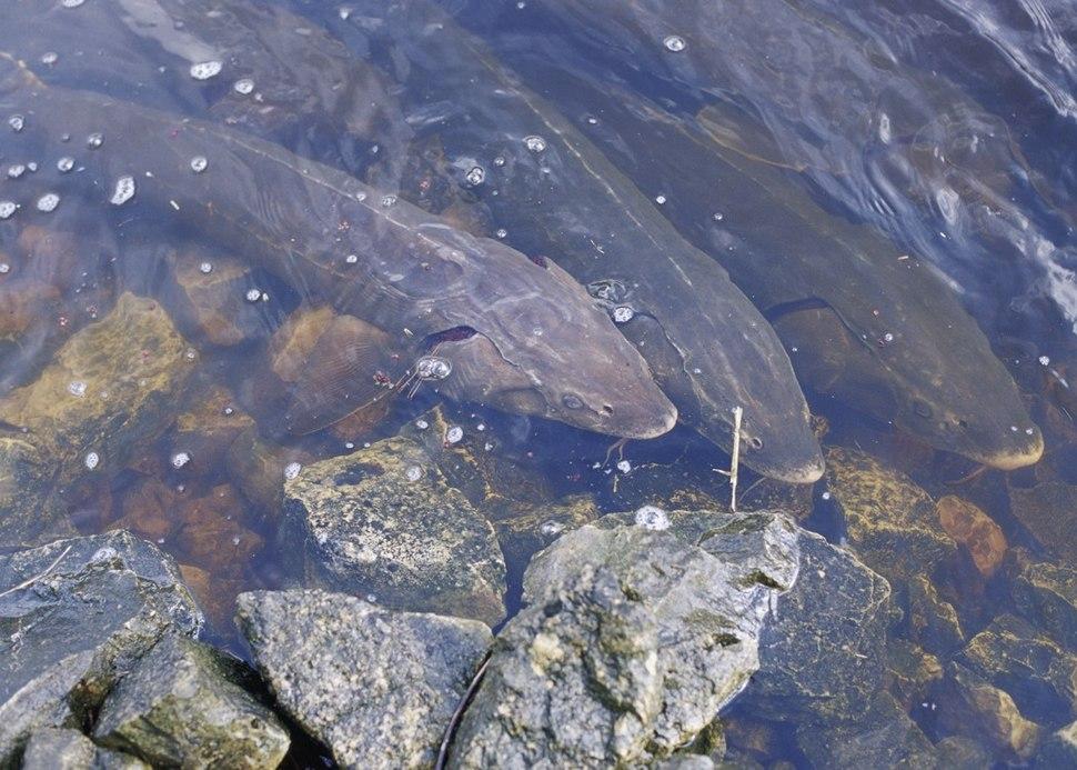 Lakesturgeon public U.S.Fish&Wildlife