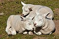 Lambs dozing in the spring sunshine IMG 1384 - panoramio.jpg