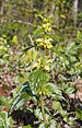 Variagated Yellow Archangel - Photo (c) Jörg Hempel, some rights reserved (CC BY-SA)