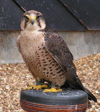 Lanner falcon - Adult Falco biarmicus feldeggi