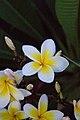 Laos National Flower (6031886815).jpg