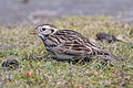 Lapland Longspur (nonbreeding plumage) (40465681042).jpg