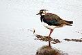 Lapwing (Vanellus vanellus).jpg