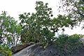 Large-leaved Rock Fig (Ficus abutilifolia) (15863903843).jpg